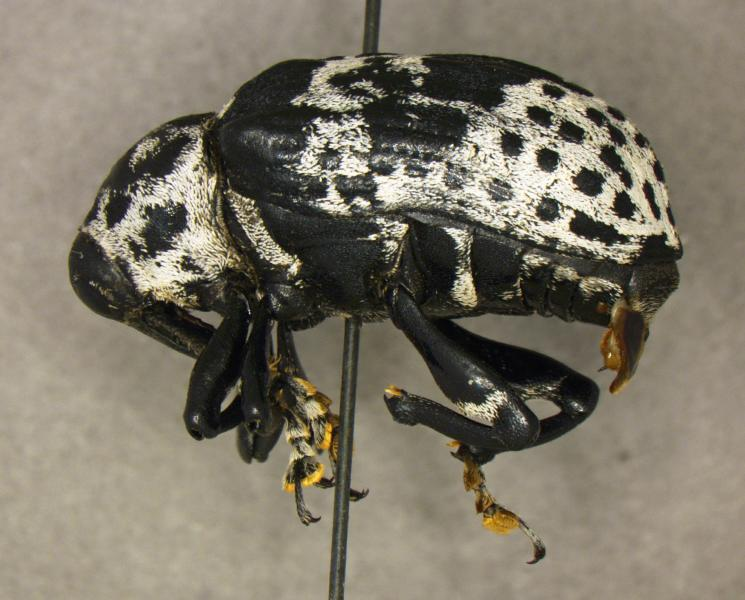 Corn pest: Border officers detect snout weevil for first