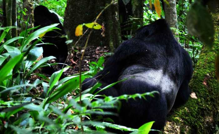 Kwezi Outdoors mountain gorilla tracking in Bwindi