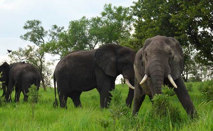 Elephants out for breakfast in Murchison Falls National ParkTake your family on a quest of the wild, cultural experience and be enchanted by the gorgeous lands you travel through. Let the allure of adventure and discovery accompany you.