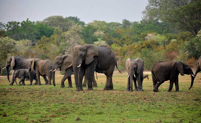 A family of elephants out for lunch along the Nile River in National Park+Uganda+travel_with+Kwezi+Outdoors