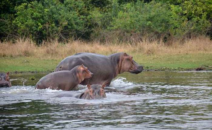 Baby hippo and mother as dad keeps watch- travel with Kwezi Outdoors