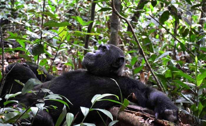 male chimp in Kibale National Park. Kwezi Outdoors tour