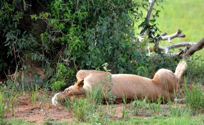 A lioness takes a nap after a meal (leftovers in bush left hand side) - travel with Kwezi Outdoors