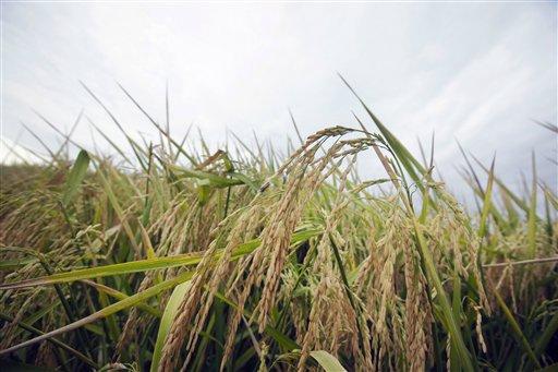 FDA Arsenic in Rice_265901