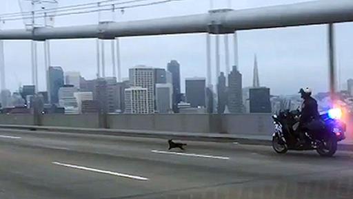 Chihuahua-Bridge Chase_266785