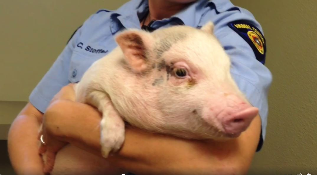 Lost pig in Round Rock_309117