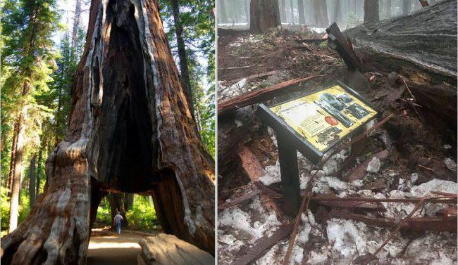 sequoia-tree-e1483955452105_397245