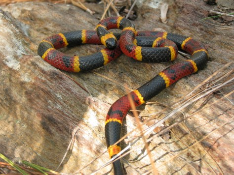 Coral Snake Found_462348