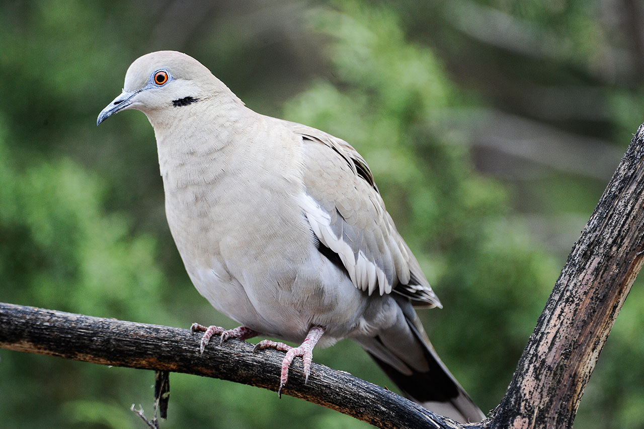 White-Winged Dove. Photo_ Chase Fountain, Texas Parks and Wildlife Department_498545