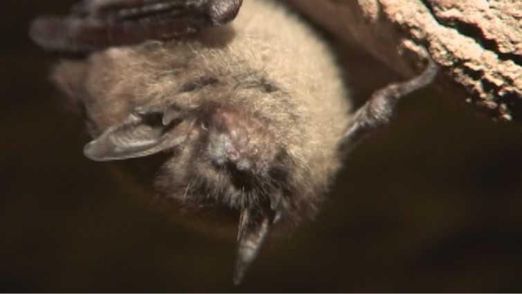 Bat Fungus - white nose_510048