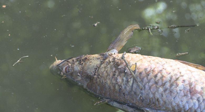 Plum Creek Dead Fish_527782