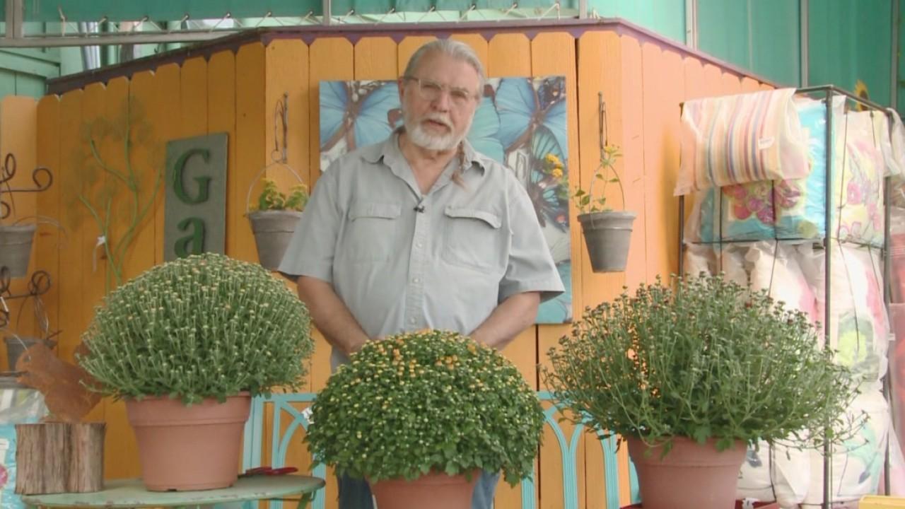 Weekend Gardener_ Caring for Garden Mums_546177