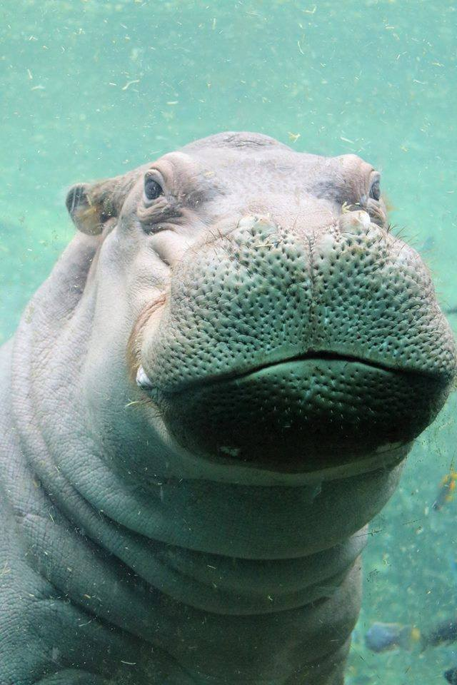 Timothy the Hippo
