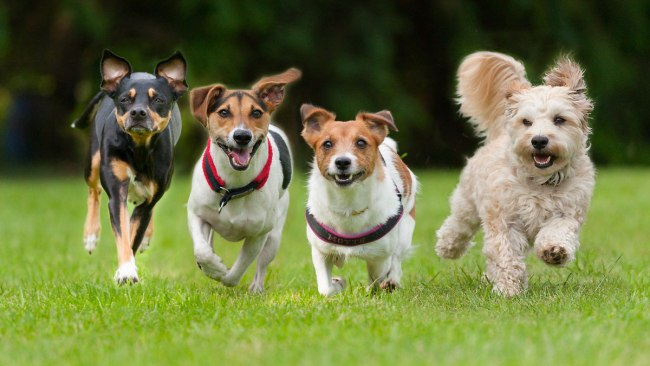 Four little dogs running in a row (Getty Image)