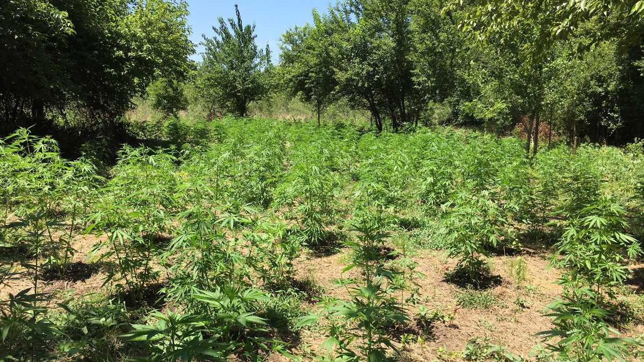 marijuana farm grow july 20_1532119159226.jpg.jpg