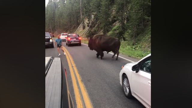 Man confronts bison in Yellowstone National Park