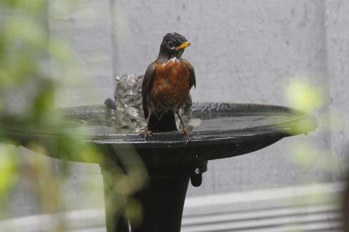 robin at bird bath moving water JT_1534974597748.jpg.jpg