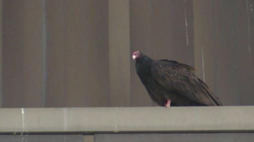 Vultures at Christopher Newport University