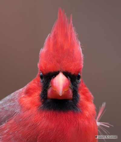 Northern Cardinal head shot Giroux resized (2)_1545266455472.jpg.jpg