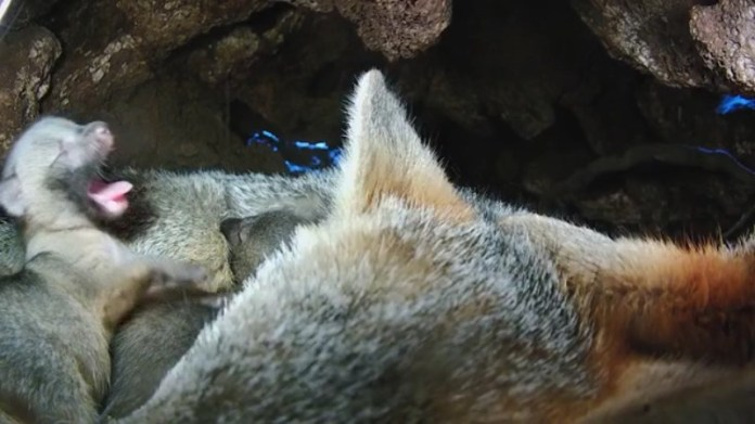 Baby foxes, racoons and owls in Austin couple's back yard give snapshot of Central Texas wildlife