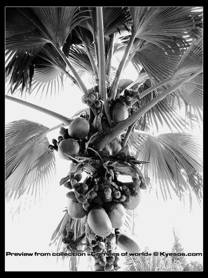 Palmtree and coconuts with high contrast in black and white - copyright Kyesos