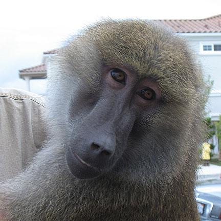 baboon-face.jpg
