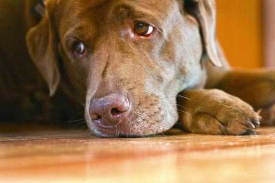 signs your dog is having a bad reaction to essential oils