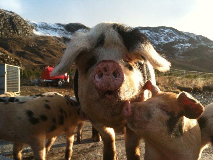 Wildlife - pigs on Knoydart, Inverie Peninsula