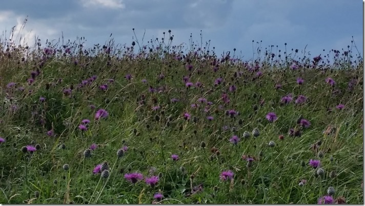 thistles on Barry Island