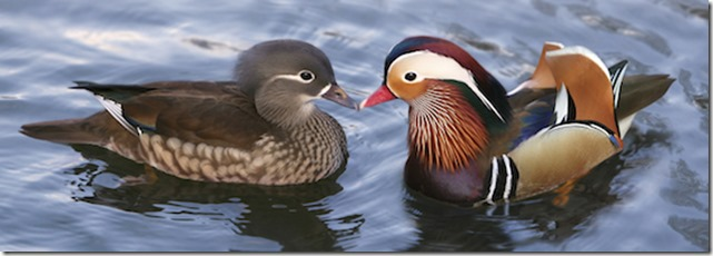 Mandarin-Ducks-Pair