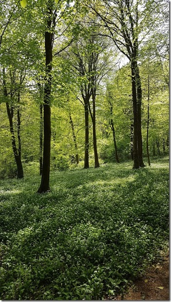 Bluebell woods 3