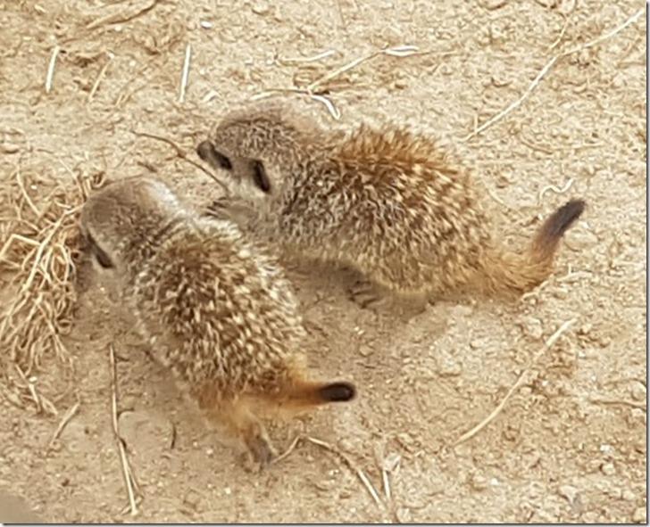meerkat babies 2