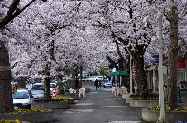 Cherry Blossoms in Hanamaki, Iwate Prefecture, Japan