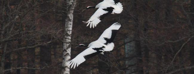 Japanese Crane (Red-crowned Crane) in Hokkaido