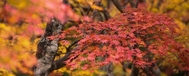Colorful Autumn Leaves (Koyo) in Japan | Fall Season 2020