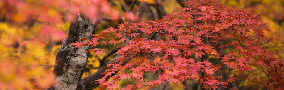 Colorful Autumn Leaves (Koyo) in Japan | Fall Season 2020