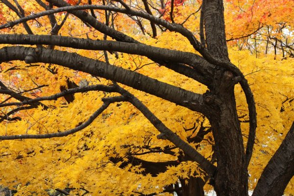 Yellow_Maple_Leaves_in_Autumn_Japan