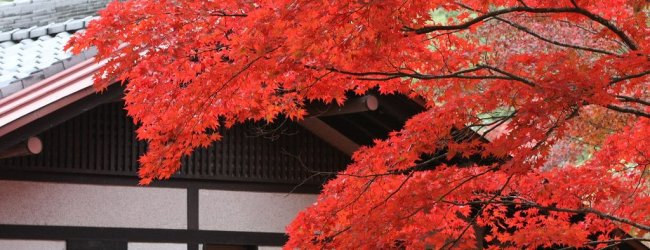 Autumn Leaves on Miyajima Island 2019