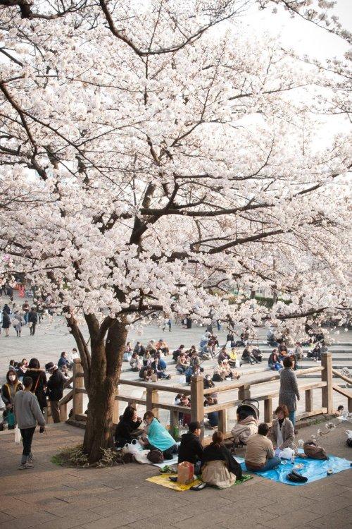 asukayama_park_sakura