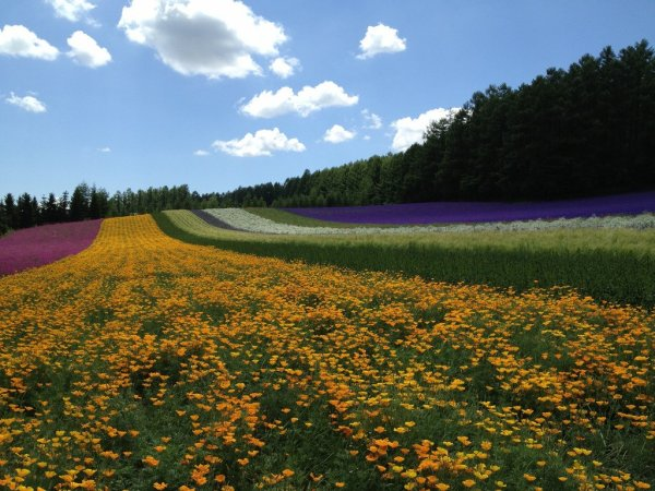 Farm_Tomita_Furano_Hokkaido_Japan