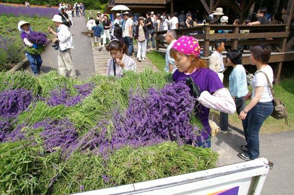 Furano_Lavender_Hokkaido_Japan