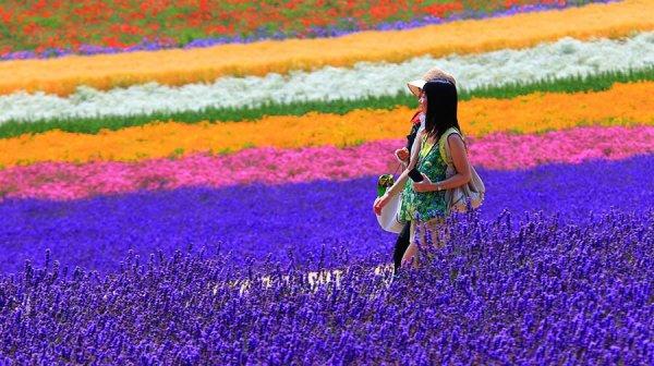 lavender_garden_at_farm_tomita_hokkaido