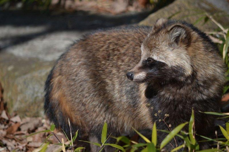 Japanese Raccoon Dog (Tanuki) | Kyuhoshi