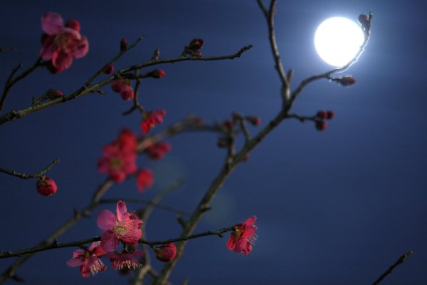 Moonlight_Plum_Blossom_Japan