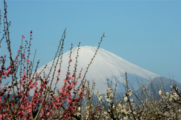 Plum_Blossom_and_Mount_Fuji_Soga_Plum_Orchard_Japan