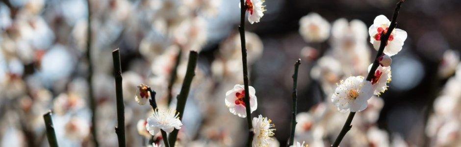 Plum Blossom in Japan | Ume Matsuri 2021