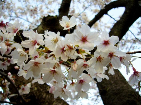 White_Cherry_Blossom_Shape_Japan