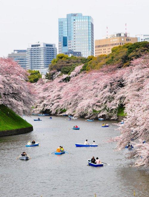 Cherry_Blossom_in_Chidorigafuchi_Park_Tokyo