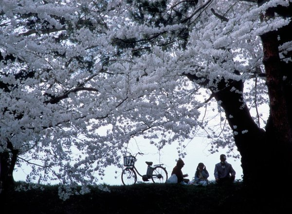 Hanami_Party_Under_Sakura_Trees_Aizu_Wakamatsu_Fukushima