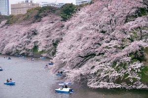 chidorigafuchi_sakura_spot_tokyo